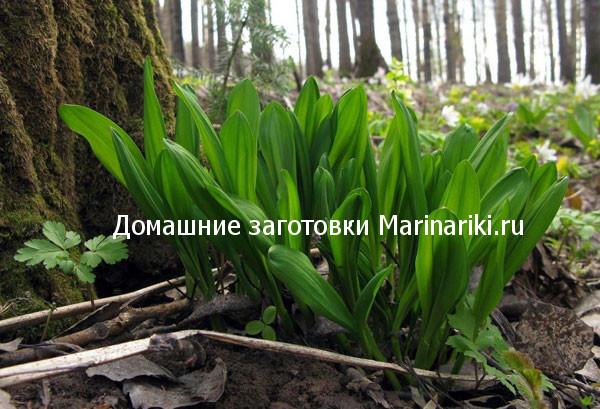 cheremsha-poleznye-svojstva-kogda-i-kak-sobirat-1